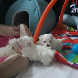 beautiful-maltese-puppies-for-sale-kc-5a65b7ae3d150